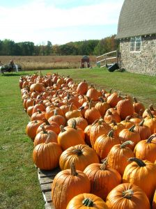 Pumpkins at harvest.