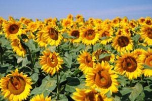 make your website stand out, like one sunflower in a whole field